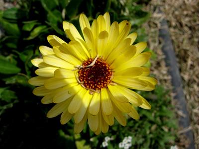 Yellowflower09