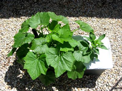 Zucchinipepper52509