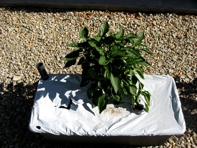 Pepperplant2