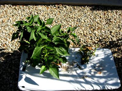 Pepperplant1