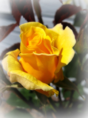 Midas Touch Rose Bud 4-25-10