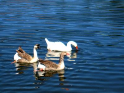 Atascadero Lake Geese Small