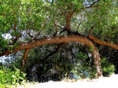 Atascadero Lake Tree Small