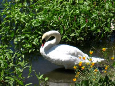 Atascadero Lake Swan Small