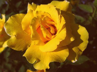 Rose 003602