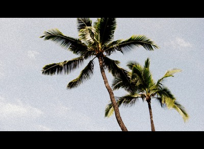 Hawaiian coconut palms