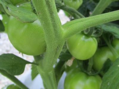 Tomato070211B