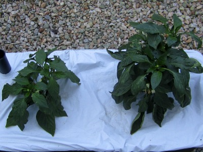 Peppers070211