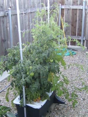 Tomatoes72411