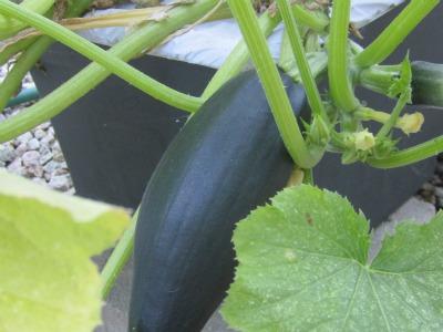 Zucchini172411