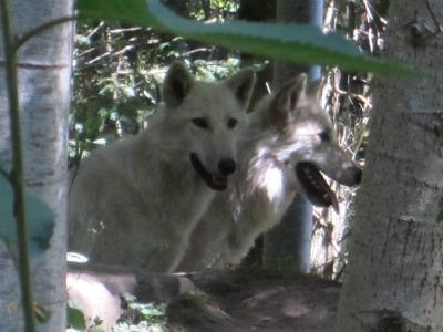 Wolvesblogsize