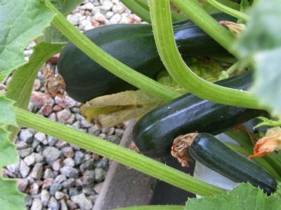 Zucchini070211B