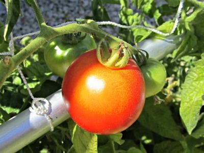 Tomato9411