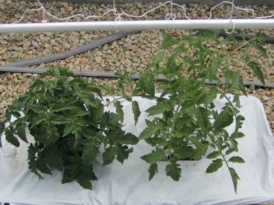 Tomatoesweeksix