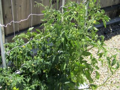 Tomatoes171711