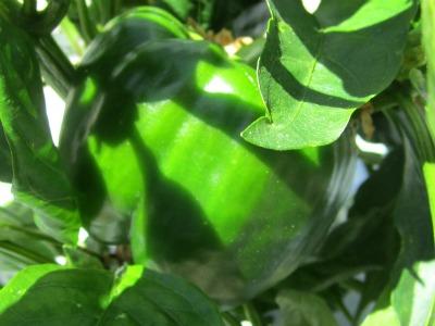 Greenbell1