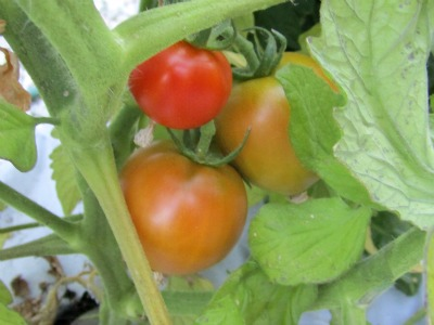 TomatoesA72411