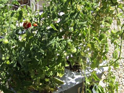 Tomatoes9411