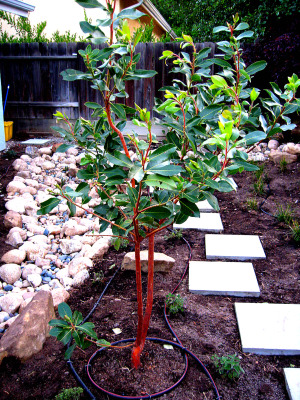 Madrone2010