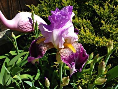 Irisbloom
