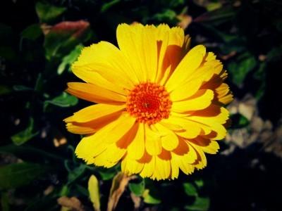 Yellowflower08