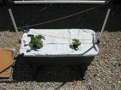 Cucumberplants51808
