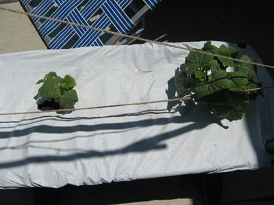 Cucumbers52608