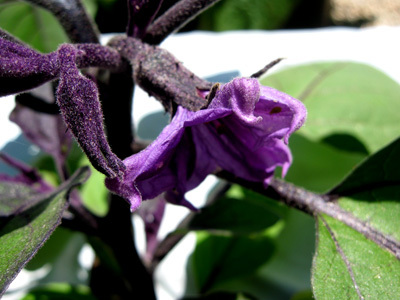 Eggplantblossom52608
