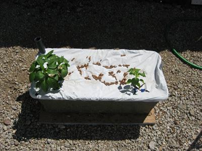 Pepperplants51808