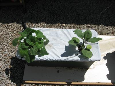 Squasheggplant51808