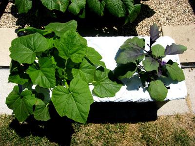 Squasheggplant52608