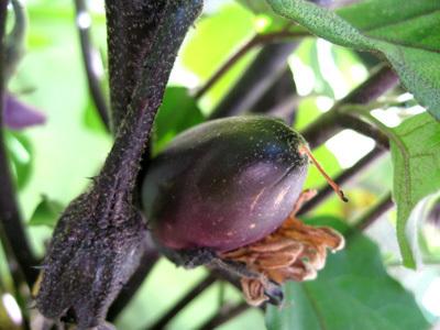 Eggplant62908