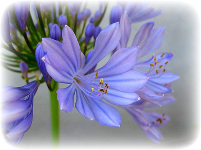 Purpleflowermatte