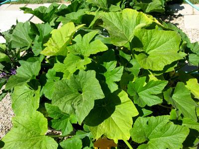 Yellowsquashplant62908