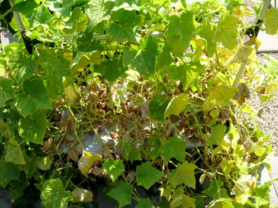 Deadcucumberplant