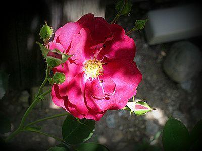 Wildrose2