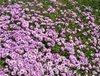 Purpleflowers_3